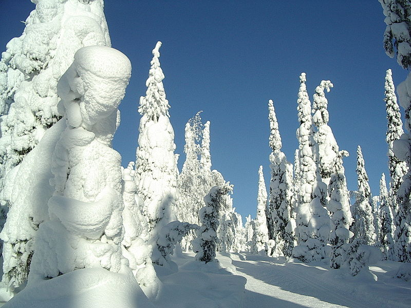 800px-snow-covered_fir_trees