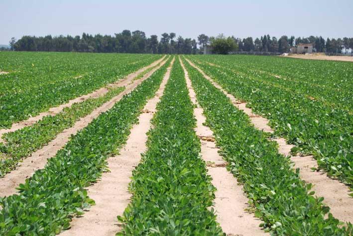 Plantación de cacahuetes: una salida siempre disponible y a todas luces original..